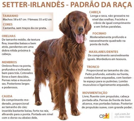 Padrão da raça Setter Irlandês Ruivo