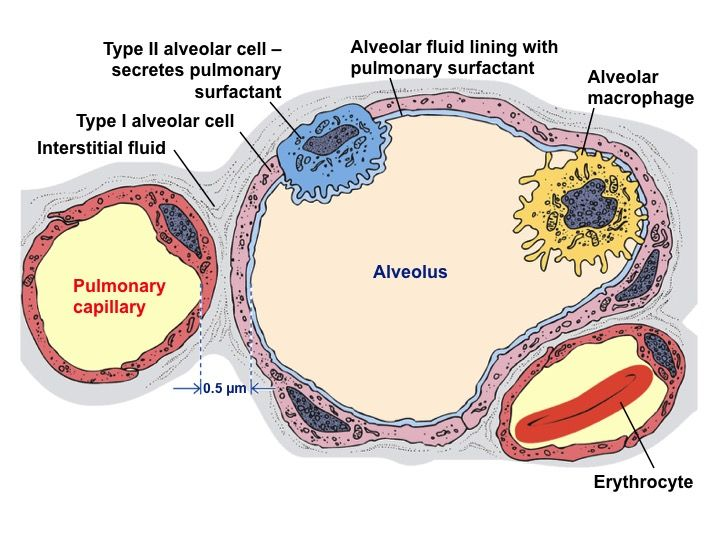 13 best respiratory system images on pinterest respiratory system type i squamous alveolar cells are thin broad cells covering about 95 pulmonary surfactantrespiratory systemsurface ccuart Gallery