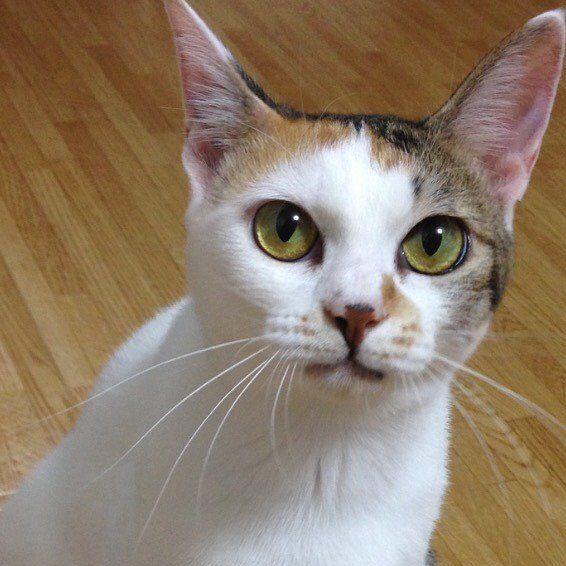 キリッ✨とライムさん😺 珍しく目線をくれた😃 #加工無し #猫目ヂカラ王選手権 . . #猫アレルギー#猫#ねこ#mycat#catlover#cat#cats_of_instagram#にゃんすたぐらむ #catstagram #ぺこねこ部#保護ねこ#白三毛#三毛#catsofinstagram#ペット#にゃん #にゃんこ #愛猫#lovecat