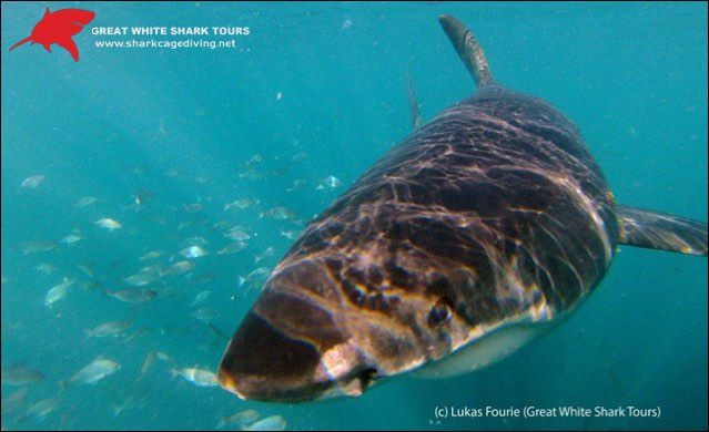 Shark Cage Diving Trip   Great White Shark Tours   shark diving boat trips in…