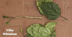Hibiskus Vermehrung, rosa sinensis, Zimmerhibiskus, Stecklinge, Ableger, Bewurzelung, Villa-Hibiskus Madeira