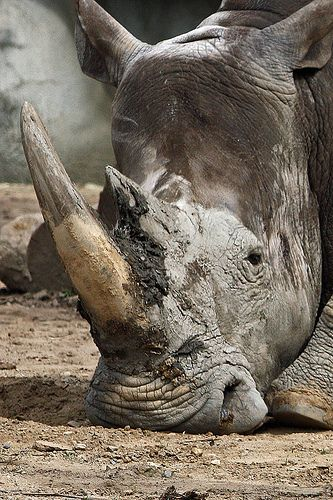 rhino | Flickr - Photo Sharing!