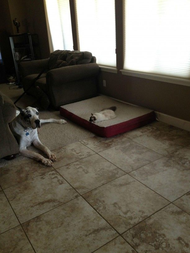So funny!  Dogs that have their beds stolen by cats!