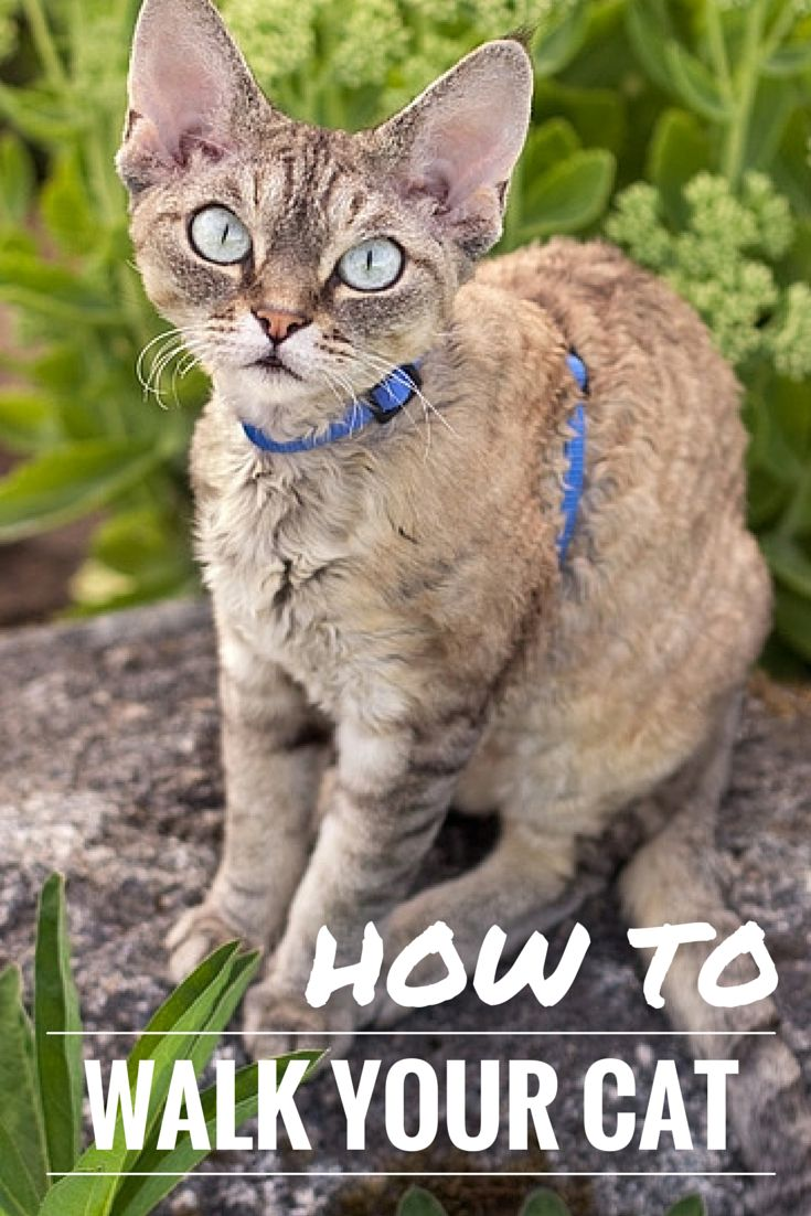 Ever seen a cat on a leash and wondered if your cat would like that? Here's everything you need to know about taking a walk with your cat and live to tell the tale!
