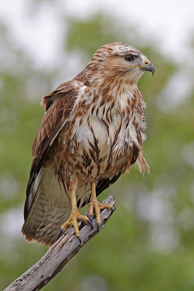 حوام السهول الباشق طيور جارحة Common Buzzard Animals Buzzard