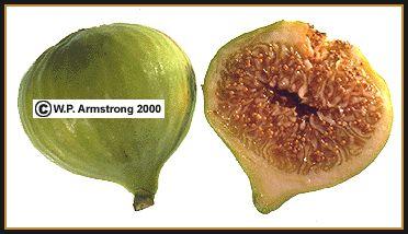 Calimyrna Fig waynesword.palomar.edu pljune99.htm