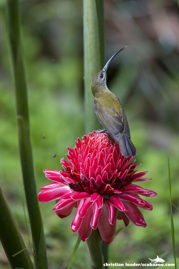Little Spiderhunter On A Wild Ginger Flower Danum Valley Sabah Malaysia Kvetiny A Muzea