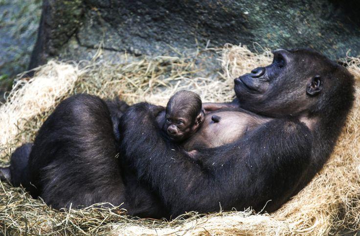 GORILAS. Zacary, el bebé gorila, descansa sobre su madre el miércoles 7 de octubre de 2015, en el zoológico de Brookfield (Estados Unidos). Zacary nació el 23 de septiembre y es hijo de Kamba y Jojo, gorilas de 11 y 35 años respectivamente . Este nacimiento marca la cuarta generación de gorilas de tierras bajas occidentales que se encuentran en el zoológico de Brookfield. Esta especie se encuentra en peligro de extinción principalmente por la caza para el comercio de carne silvestre. (EFE)