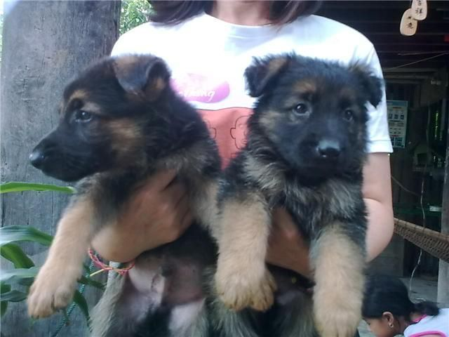 German Shepherd Puppy For Sale In Delhi Best Price German