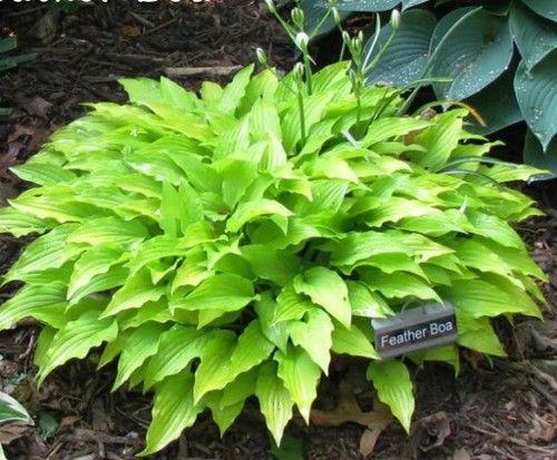 Feather Boa Hosta - Sun Tolerant Yellow Shade Perennials Hostas