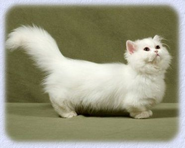 Napoleon Dwarf Cat - cross between the Persian Cat and the Munchkin cat