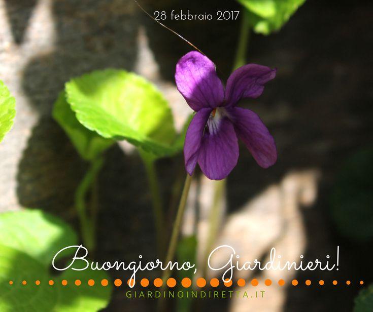 Viola mammola (viola odorata) - un giardino in diretta