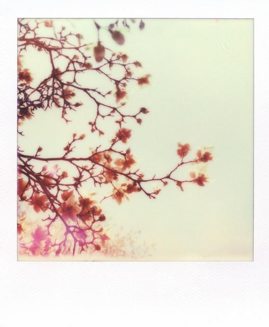 Tree in Bloom   Polaroid SX70