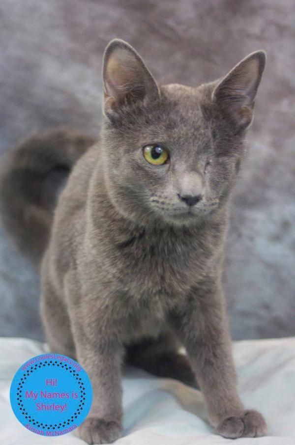 Shirley Adoptable Cat Kitten Female Domestic Short Hair Meriden Ct Pet Adoption Cat Adoption Foster Cat