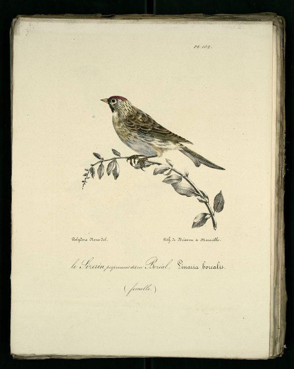 IMG / птицы Прованс / чечетка-бореальных-femelle.jpg