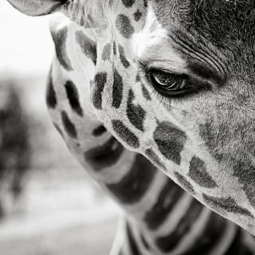 GiraffePhotos, White Animal, Animal Photography, Eyelashes, Black And White, Black White, Pictures, Beautiful Creatures, Giraffes