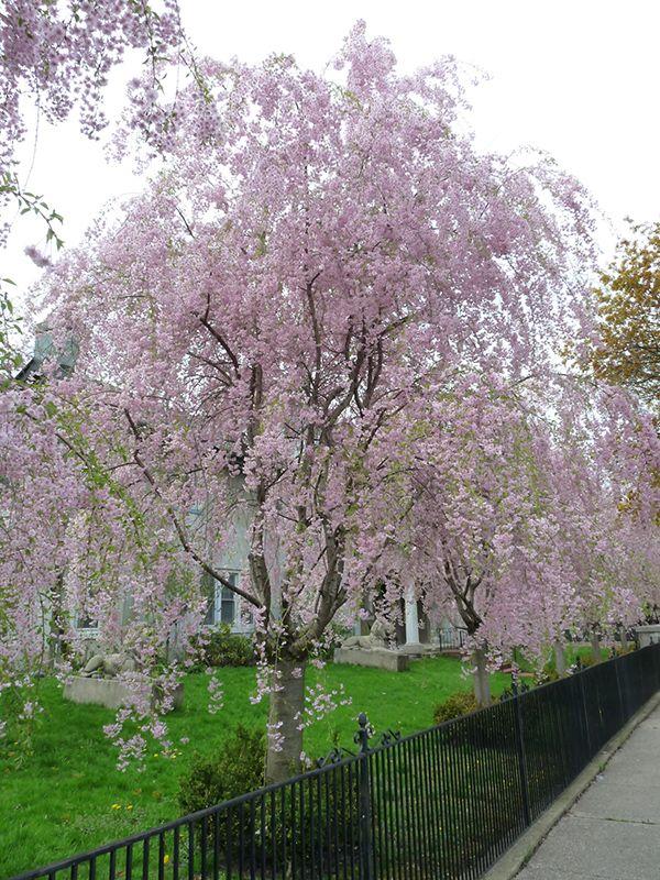 Weeping Higan Cherry Prunus Subhirtella Pendula At Wallitsch Nursery And Garden Center Landscape Nursery Trees To Plant Deciduous Trees