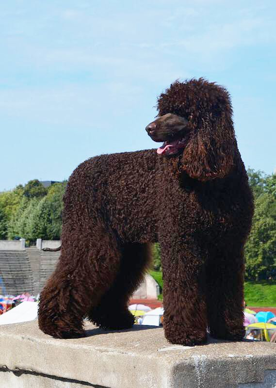 Rolli Woodrock S Wreck It Ralph Loved By Nina Kujala Irish Water Spaniel Iwsca Irish Water Spaniel Spaniel Breeds Spaniel Dog