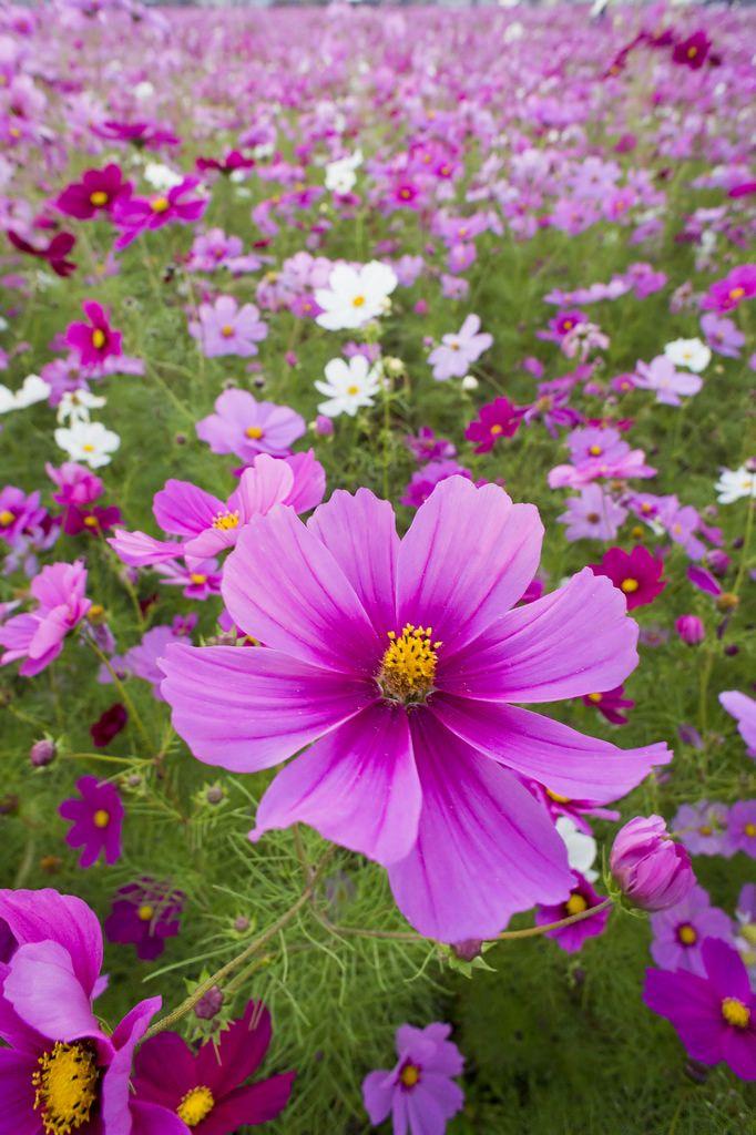 pink u0026 white cosmos - Flowers