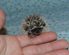 Hedgehog baby!!!! They are unexpectingly adorable