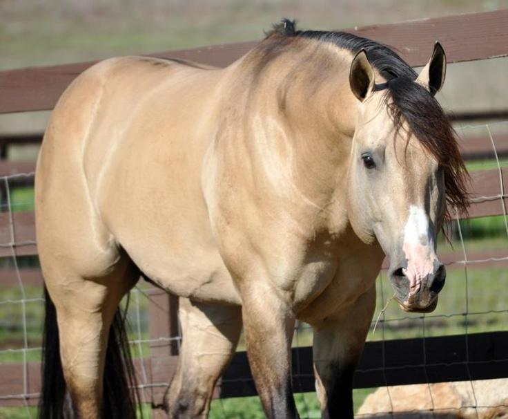 quarter horse buckskin - photo #25