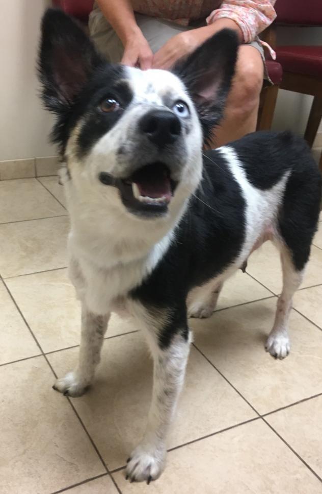 Adopt Heidi on Smartest dogs, Dog adoption, Border collie