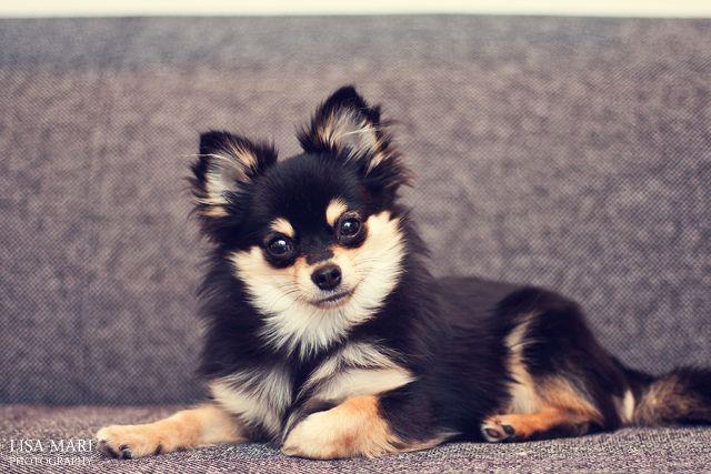 Pomchi (Pomeranian/Chihuahua)... such beautiful coloring. (photo credit: Lisa Mari Photography)