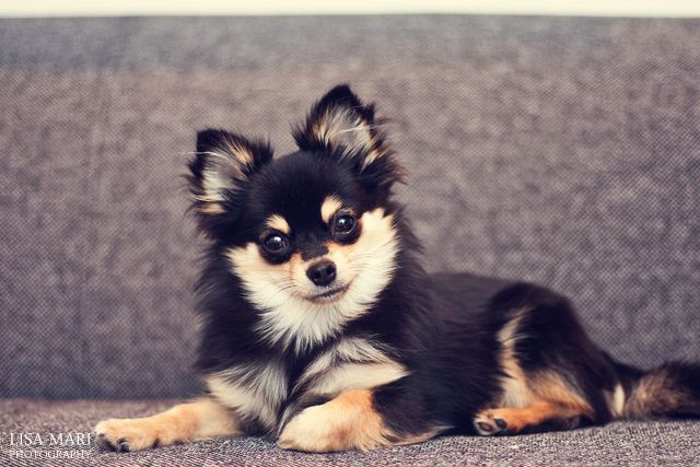 Pomchi (Pomeranian/Chihuahua)... such beautiful coloring. (photo credit: Lisa Mari Photography) I want one so bad and I would call it misha. ^_^