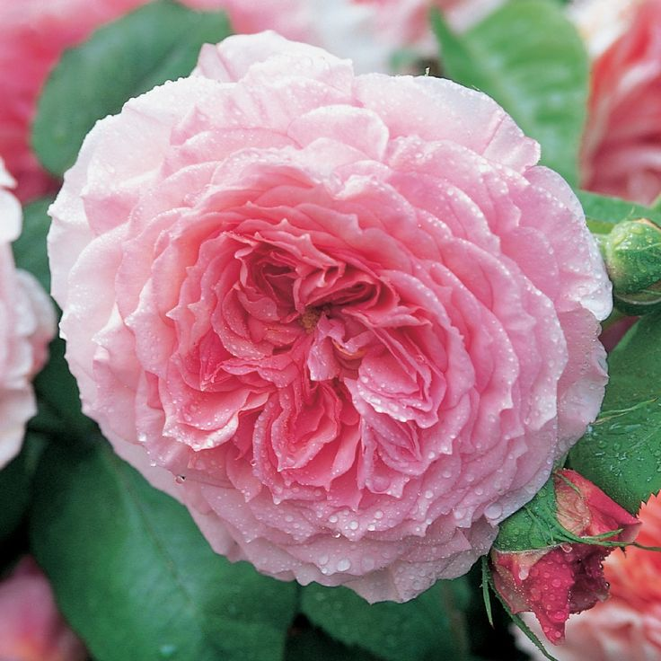 james galway climbing english roses pinterest the o. Black Bedroom Furniture Sets. Home Design Ideas