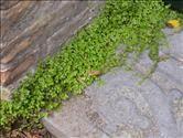 slaapkamergeluk / soleirolia soleirolii; in voegen van het terras zetten en misschien in de ruimte voor het hoge raam (tussen tegels en kozijn)