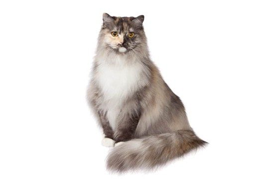 Ragamuffin Cat Breed - Purina® The RagaMuffin has a  easygoing,calm temperament and can be trained to walk on a leash,play fetch and situp to beg.This healthy breed reaches adulthood at four years.