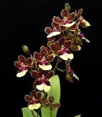 Resultado de imagen para orquideas terrestres