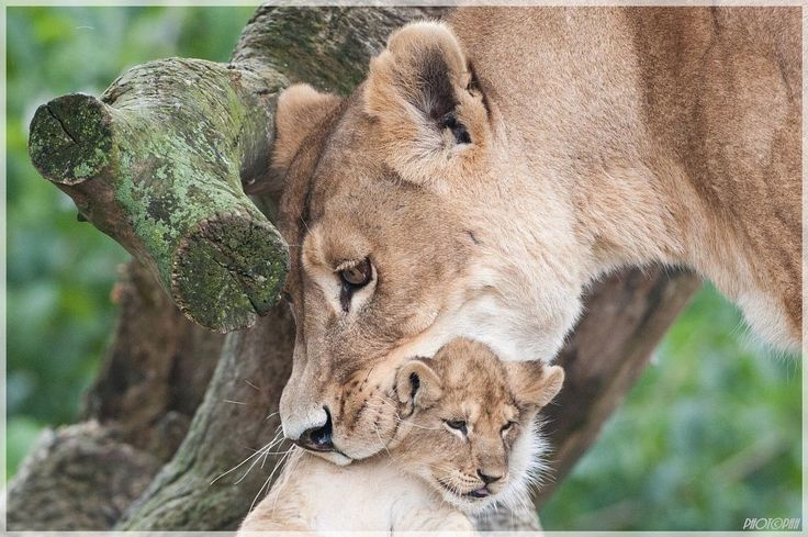 Lion  by peter.h.hansen1