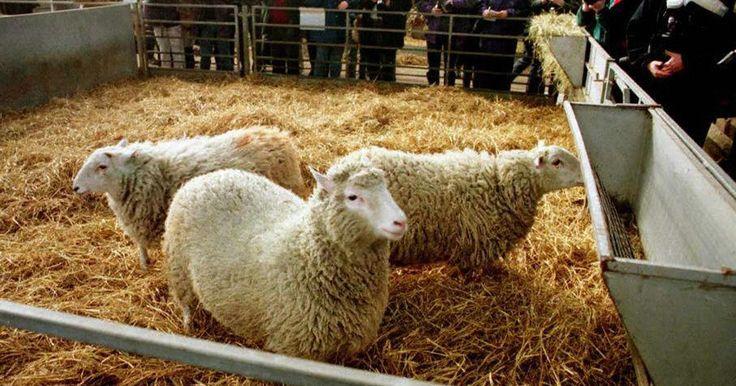 Clonagem da ovelha Dolly completa 20 anos