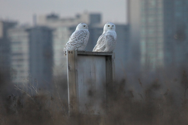 A rare sight: snowy owls in Chicago