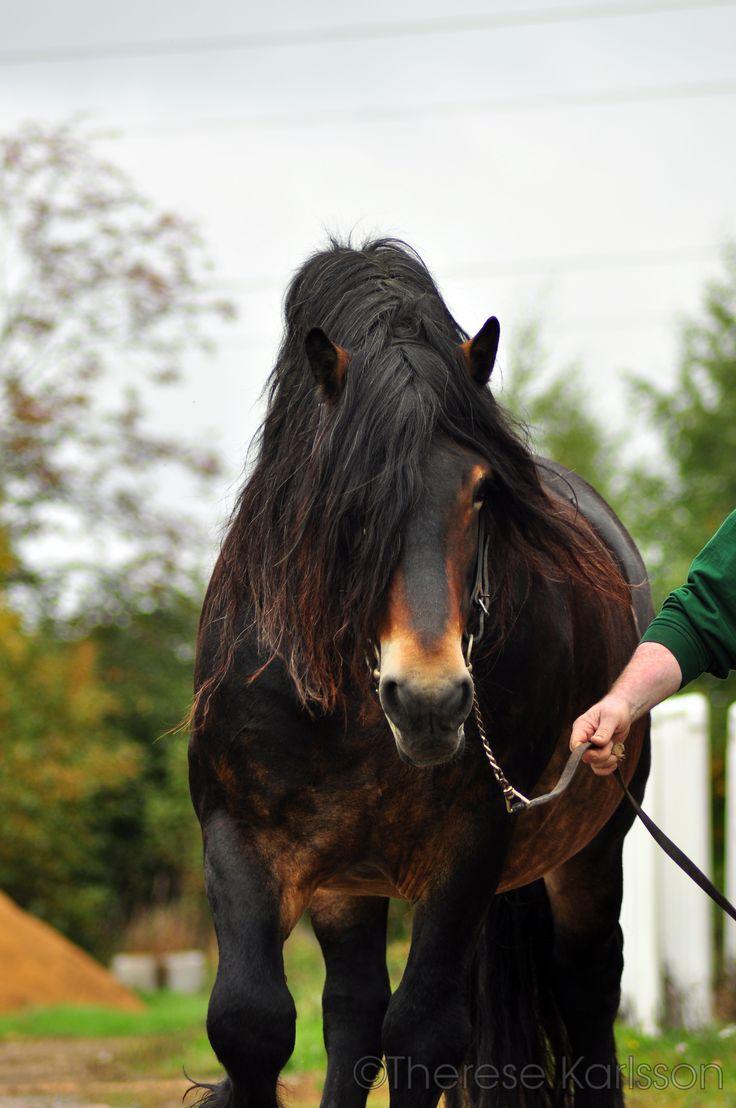 Nordsvensk stallion - Viking. Look at that coloring!