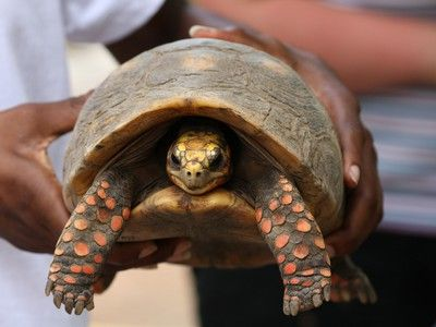 """Tenacious tortise - survives for thirty years in - hoarder's storage room""  Family Cleans House, Finds Pet Tortoise Missing Since 1982"
