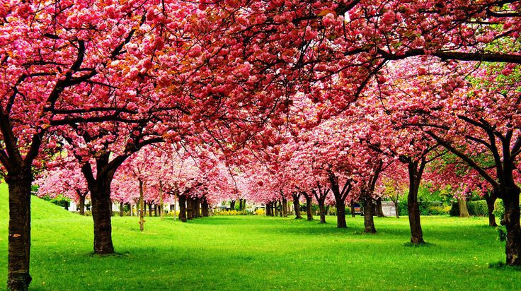 Bilde fra http://webneel.com/daily/sites/default/files/images/daily/10-2013/3-nature-photography-cherry-tree.jpg.