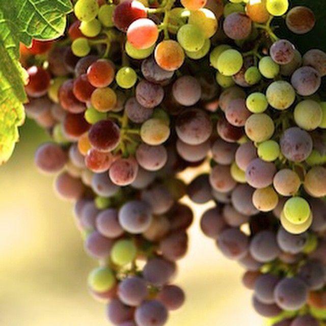 Mantilari grape variety! #PEZA #wine country! #Crete, south Greece.