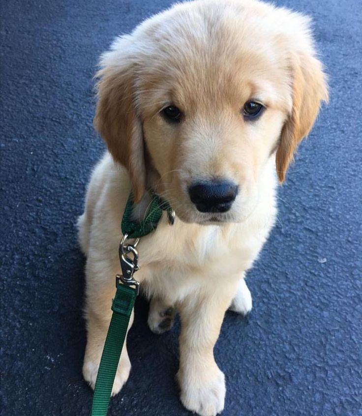 Labrador husky mix welpen – Dogs our friends photo blog
