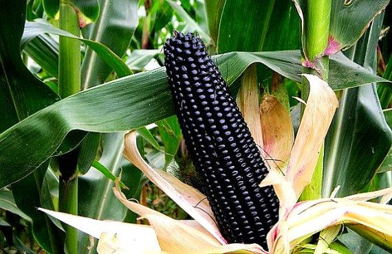 Aztec Black Corn ancient heirloom 50 seeds non GMO by SmartSeeds