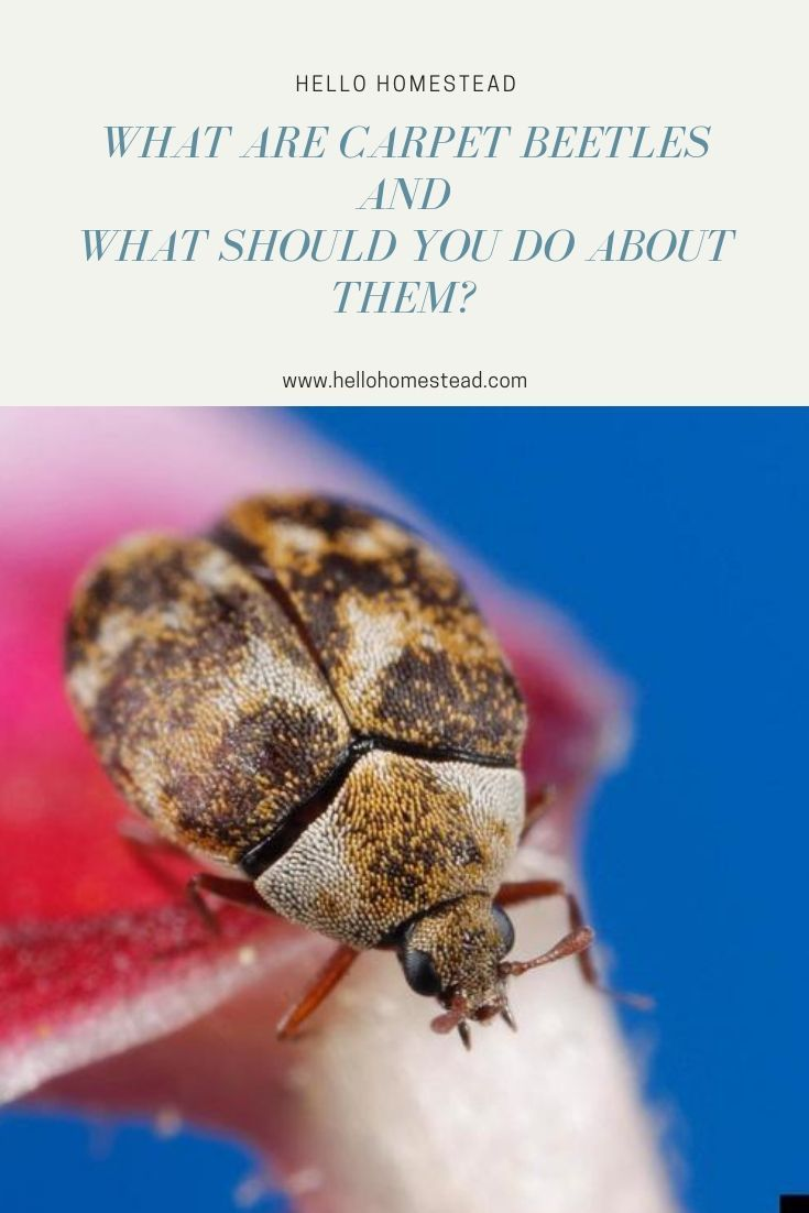 What Are Carpet Beetles And What Should You Do About Them Tiny Pantry Beetle Pantry Items