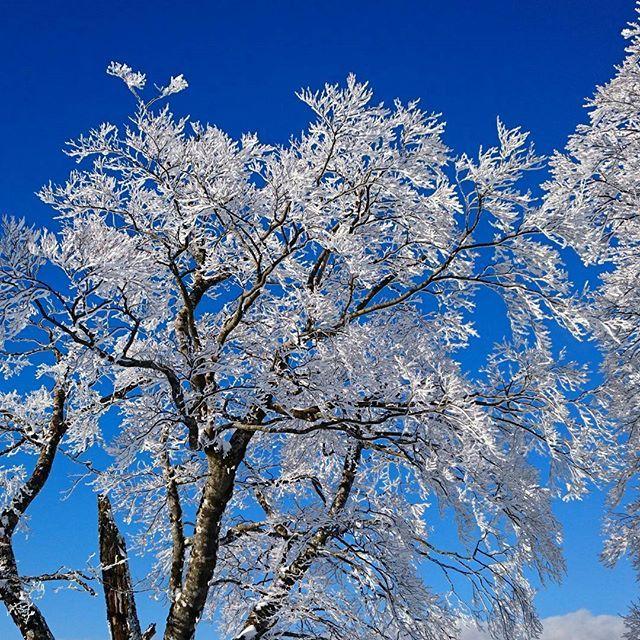 【kame_a.k.a_neel】さんのInstagramをピンしています。 《: : 青空の下の雪桜🌸 : 昨日一昨日の降雪で樹にできた樹氷が満開の桜みたいだった⛄🌸 : #shimane #japan #setouchigram33 #Loves_Nippon #lovers_nippon #japan_daytime_view #japan_night_view #team_jp_西 #team_jp_flower #icu_japan #wp_japan #bestjapanpics #はなまっぷ #キタムラ写真投稿 #写真撮ってる人と繋がりたい #写真好きな人と繋がりたい #瑞穂ハイランド #snowboard #滑り納め #樹氷 #雪 #桜 #青空 12月30日 : 今回の雪が根雪になって、もっかいドカッと来てくれたらいいんだけどなぁ〜 午後からずっとゴンドラ故障⤵ 明日とか行かれる方は要確認です💡》