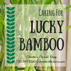 LUCKY BAMBOO - How to care for your lucky bamboo plant from Chester's Flowers