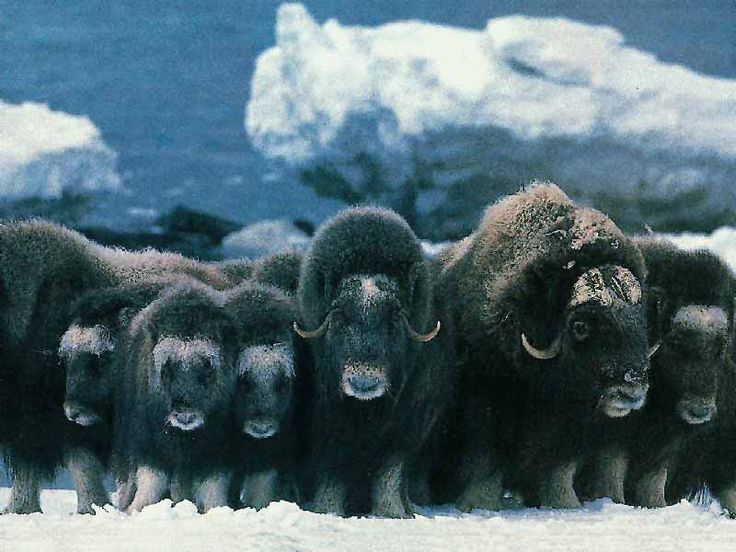 The muskox (Ovibos moschatus, musk ox) is an Arctic mammal of the family