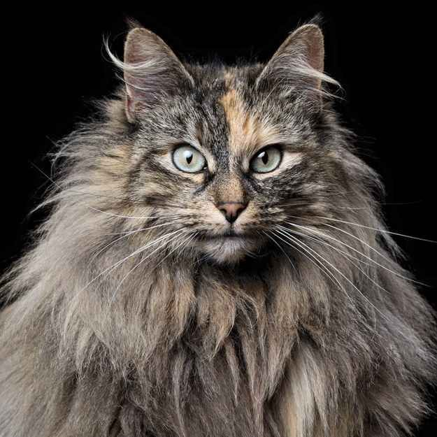 Norwegian Forest Cat. This is probably what my grandma & grandpas cat is.