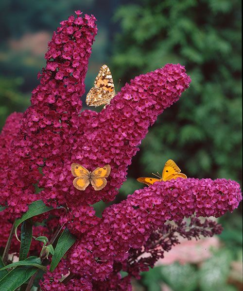 Komule ´Royal Red´ - Motýlí keř - Květy obklopené motýly. Buddleia dav. ! Květy jsou extra dlouhé, takže větve se pod tíhou elegantně prohýbají. Mrazuvzdorný, nenáročný. Na jaře sestříhat. Stanoviště: plné slunce. Doba kvetení: červenec - říjen. Výška: 2 – 3 m.