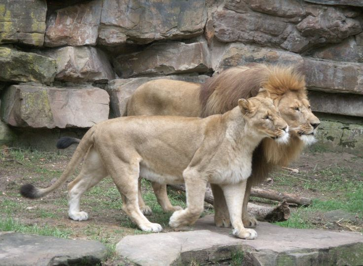 Male Lion Anatomy