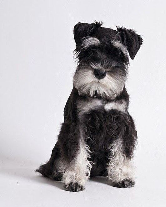 So photogenic #dog #scruffydog #photostudio #cute
