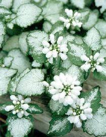 Lamium maculatum White Nancy - birthday garden